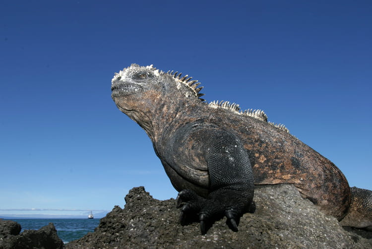 iguane marin sorti de la prã©histoire photo jean paul calvet