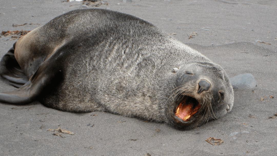 otarie-fourure-australe-zoo-de-paris
