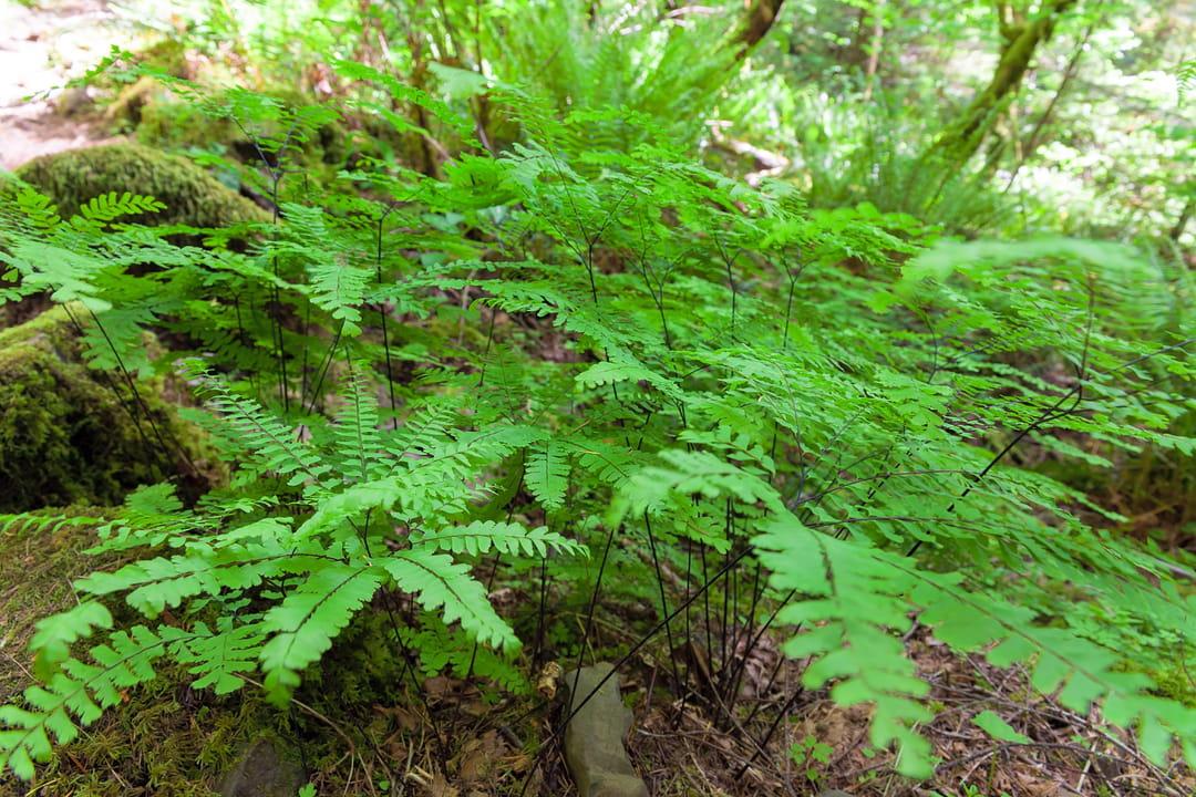 plante-d-ombre-adiantum-aleuticum-imbricatum