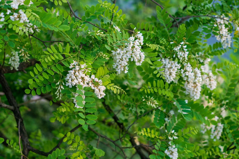 Acacia : planter, entretenir et tailler