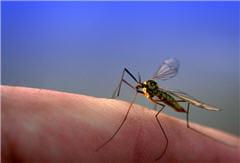 le paludisme est transmis par les moustiques anophèles femelles dans les zones