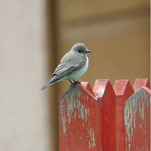 le gobe-mouches gris chasse les insectes volants.