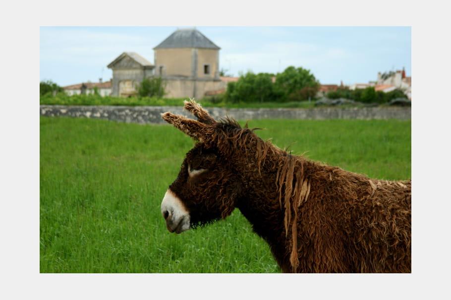 L'emblématique âne du Poitou