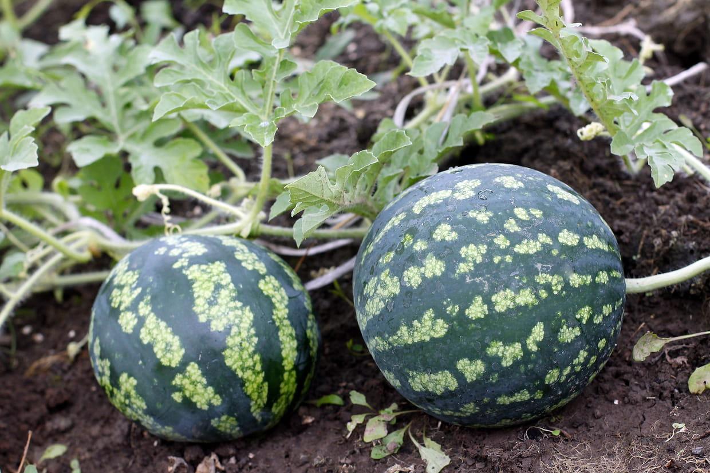 Que Planter En Octobre Sous Serre pastèque : semer, planter, cultiver et récolter