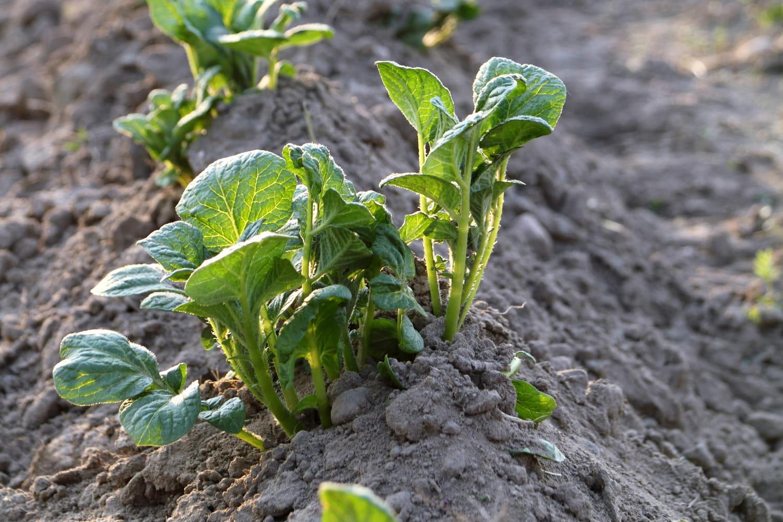 Buttage: pourquoi, quand et comment butter les légumes du potager?