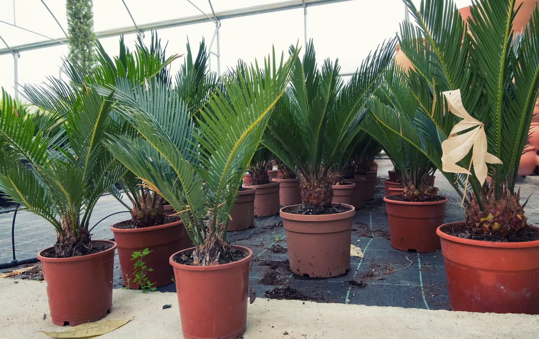 Palmier en pot: comment bien le cultiver en extérieur?