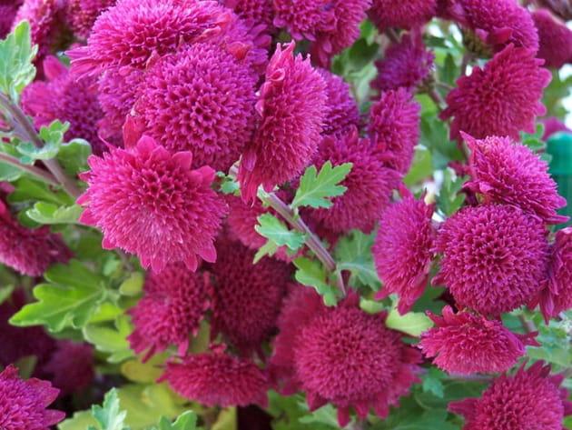 Les chrysanthèmes décoratifs