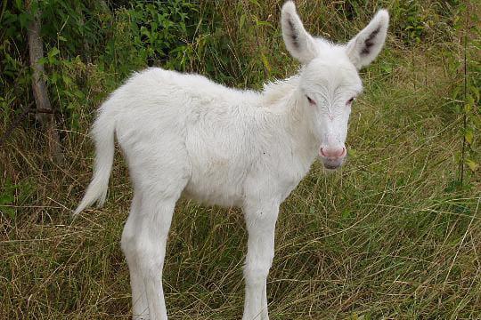 Un ânon nouveau-né