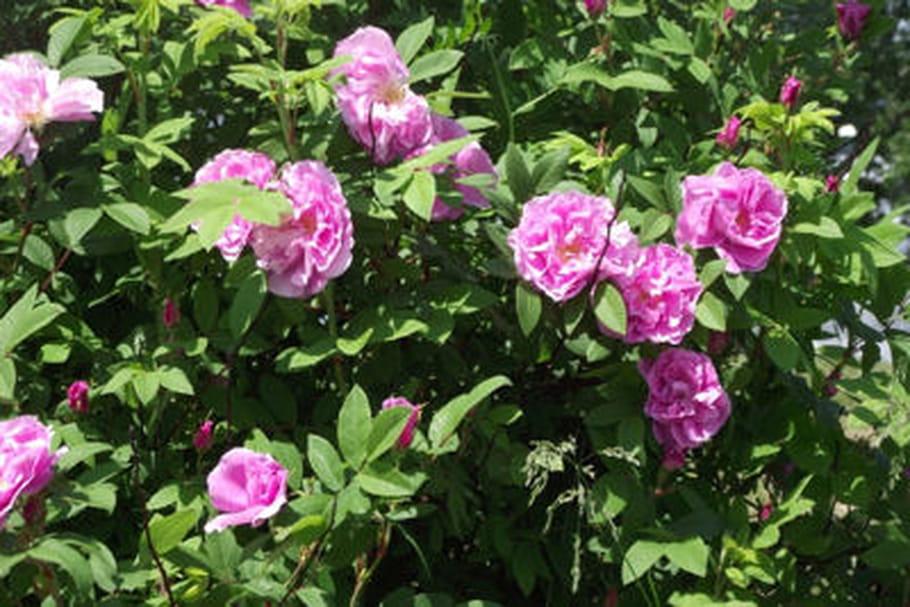 Quelles astuces pour lutter contre la chlorose du rosier ?