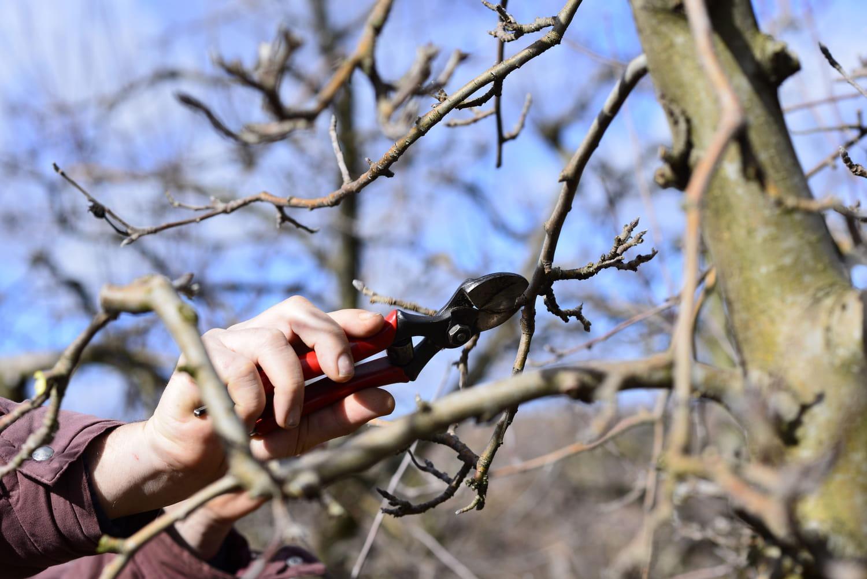 Quand et comment tailler un arbre fruitier?