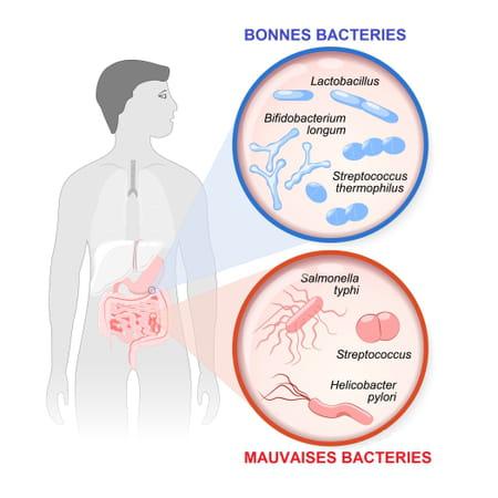 Bonnes et mauvaises bactéries du microbiote intestinal