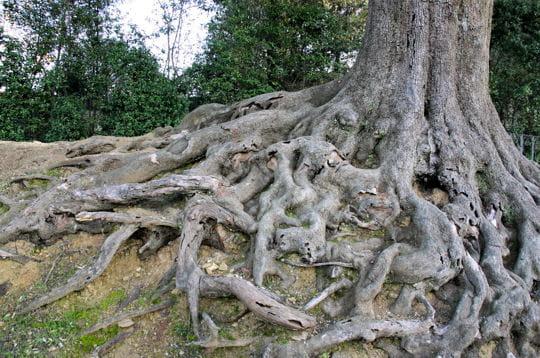 Arbre aux larges racines