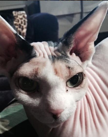 Adam Levine et son chat sans poils