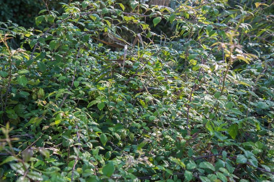Comment se débarrasser des ronces de façon naturelle et efficace?