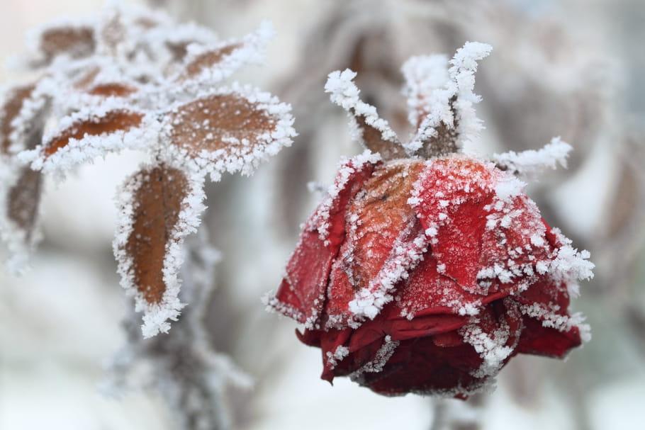 Protéger les rosiers du froid en hiver