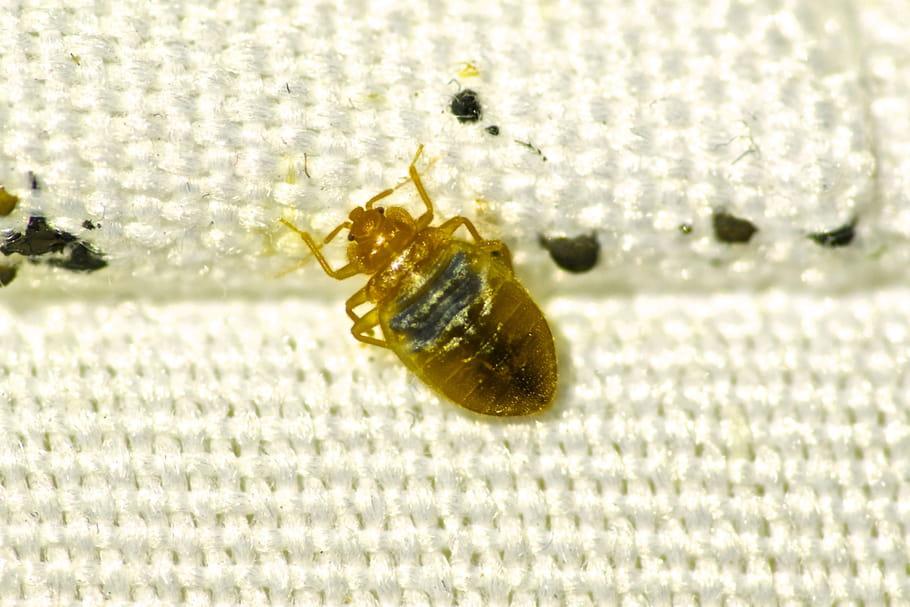 Punaises de lit: taille, traitement, que faire pour les chasser?