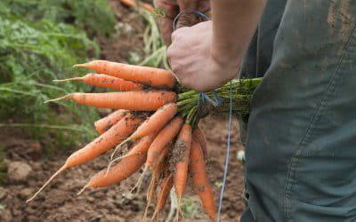 ramassez les carottes tardives