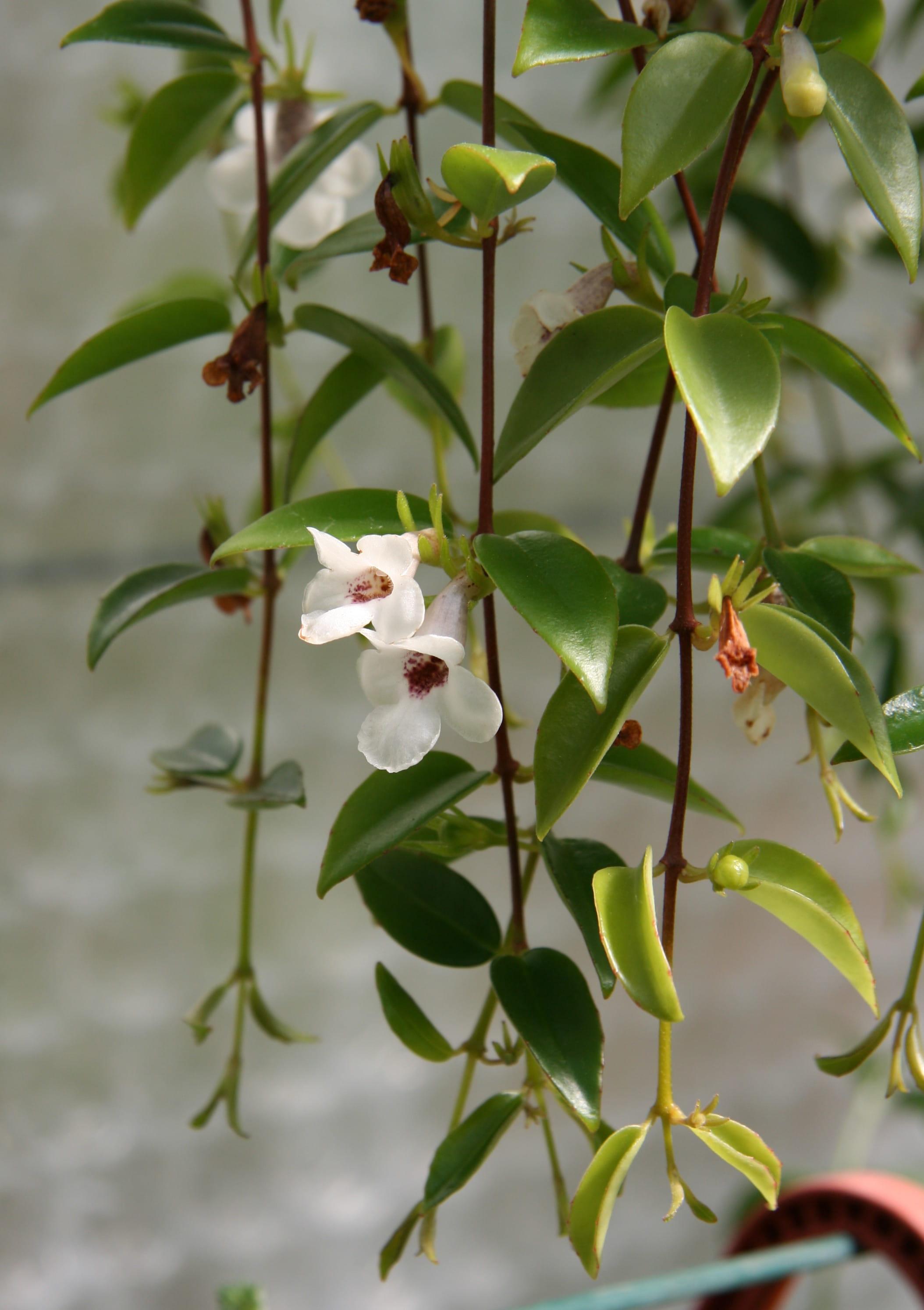 Codonanthe retombante - Petit arbre d interieur ...