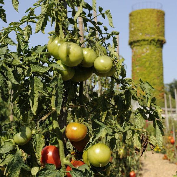 arroser des plants de tomates. Black Bedroom Furniture Sets. Home Design Ideas