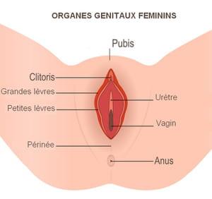 schéma organes génitaux féminins