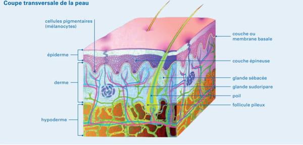 couche de la peau carcinome
