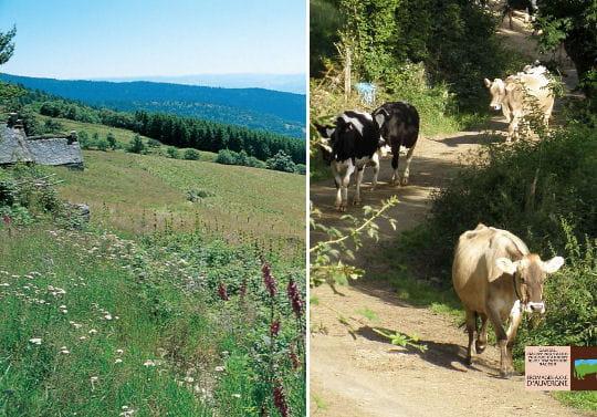 Des vaches, une zone d'appellation