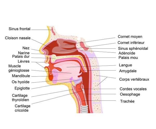 Schéma des voies aérodigestives et des sinus