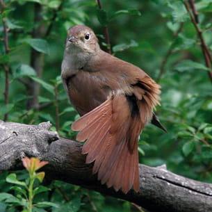 le rossignol philomèle est un oiseau qui saura se faire remarquer par son chant