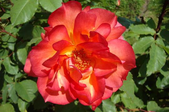 Une rose qui a du panache