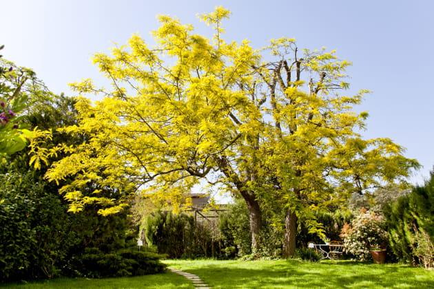 Flamboyant acacia