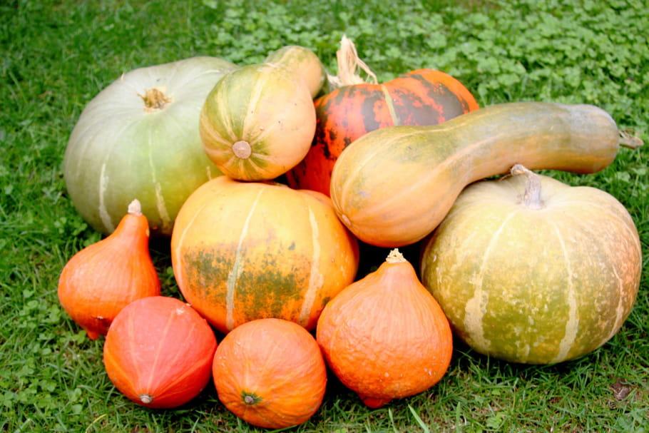 Cultiver du potiron: semis, plantation, entretien et récolte