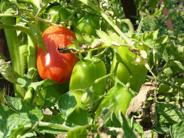 tomate-lumina
