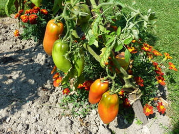 Quand planter les tomates for Jardin quand planter