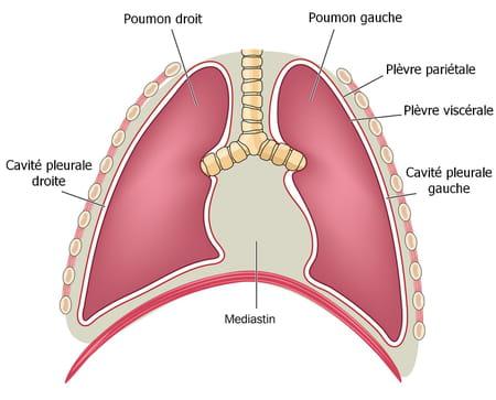 schéma plèvre poumon