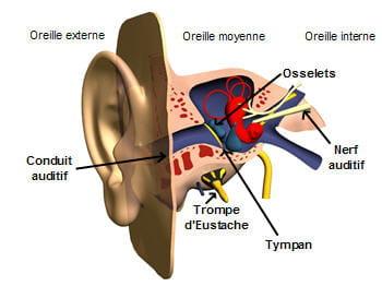 anatomie de l'oreille.