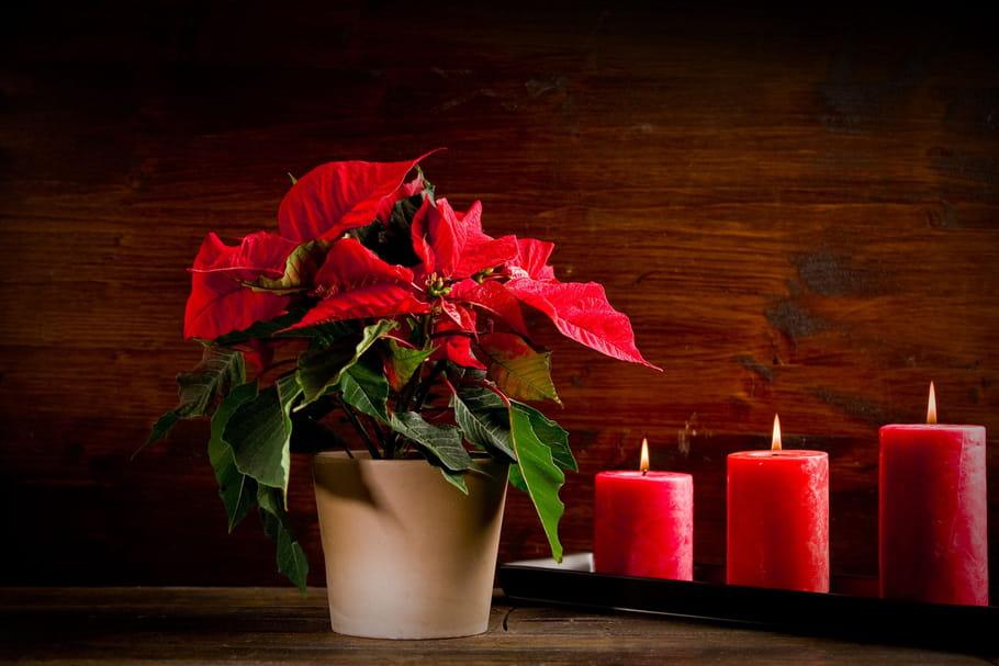 Fleurs de saison : quelles variétés pour Noël ?