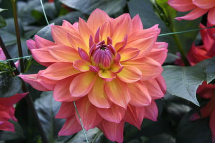 Dahlia 'Tricolor'