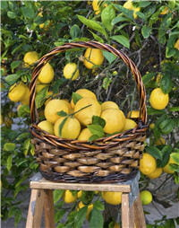 le jus de citron peut être utilisé plus facilement que l'huile qui nécessite des