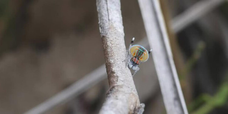 Araignée paon: taille, morsure, dangers du venin