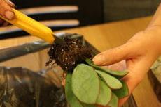 rempotage d'une plante succulente