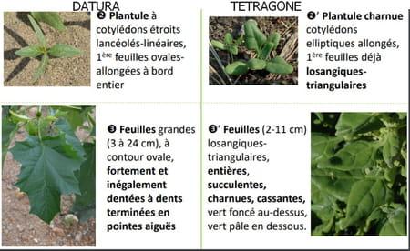 différence datura et tetragone