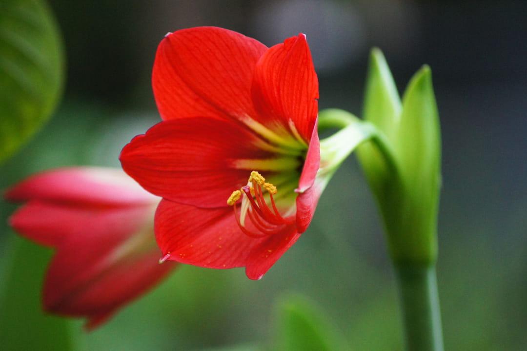 10 fleurs pour un jardin rouge for Planter un bulbe amaryllis