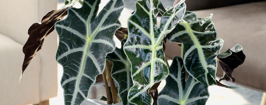 Plantes d 39 int rieur choisir planter et entretenir vos for Alocasia d interieur