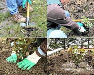Planter un rosier en 8 tapes for Comment arroser un rosier en pot