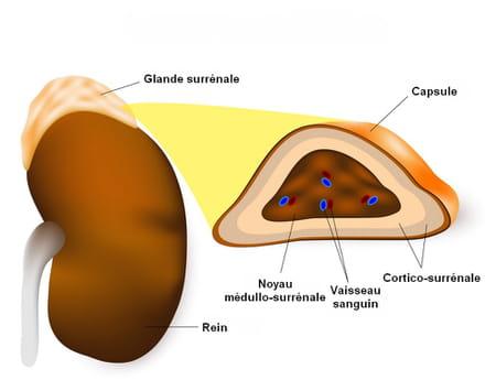 anatomie glande surrénale