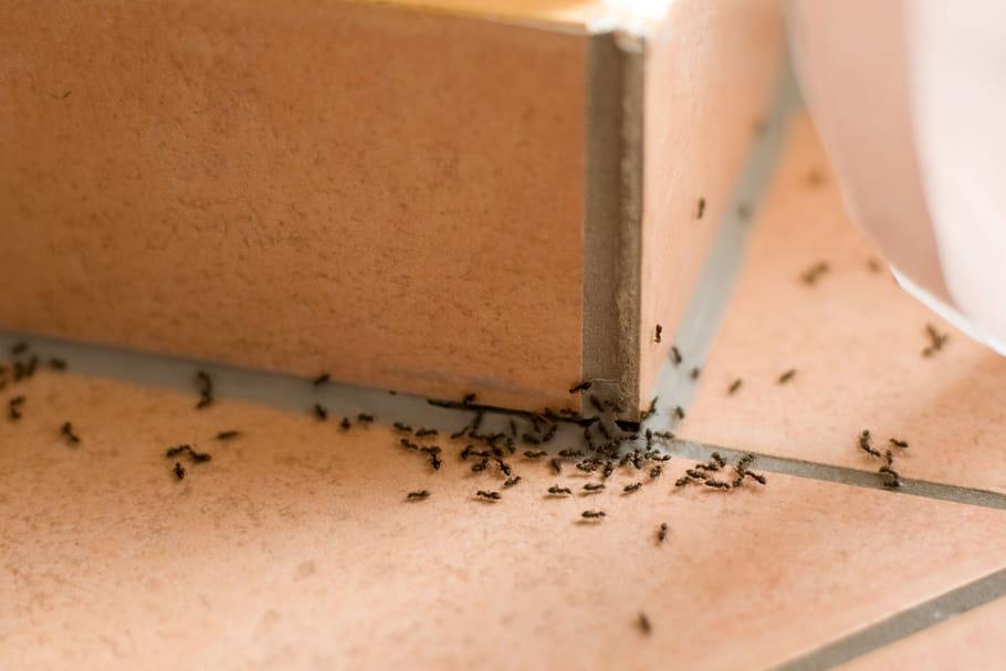Comment se débarrasser des fourmis? Solutions