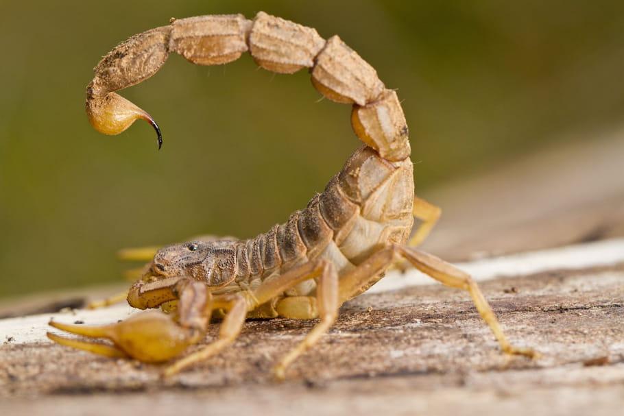 Piqûre de scorpion: symptômes, médicament, que faire?