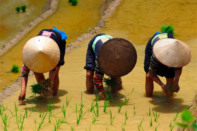 Plantation de riz chez les lolo noirs, région de Cao Bang, Vietnam 2015