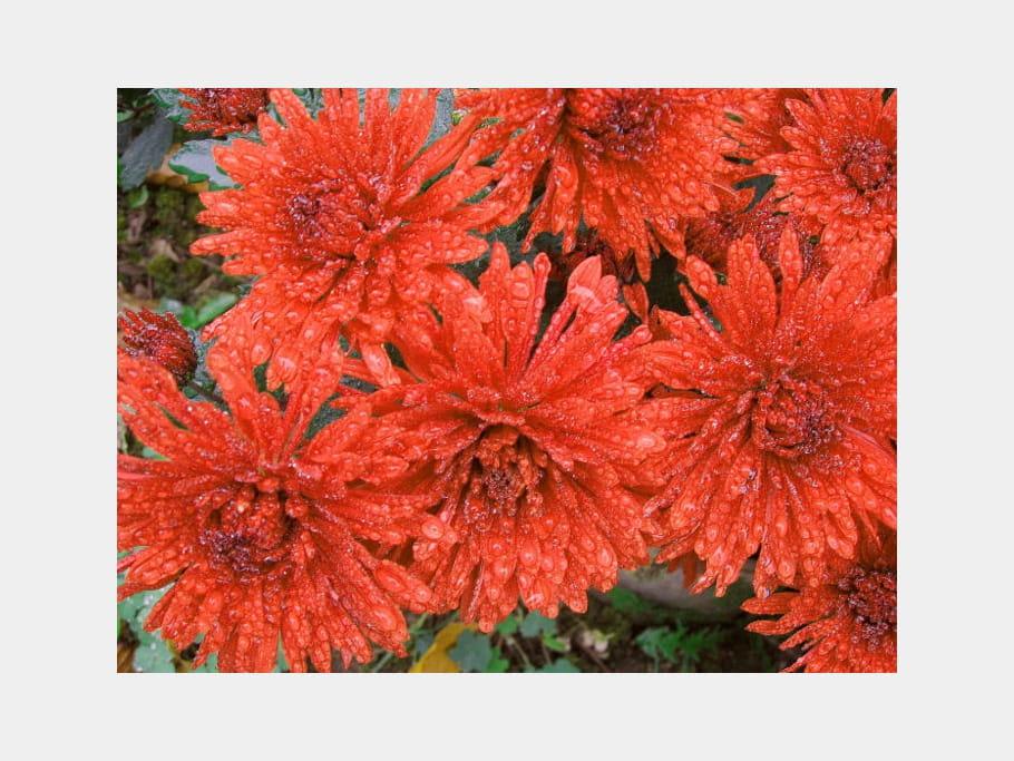 Chrysanthèmes orangés