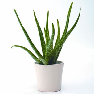 l 39 aloe vera en pot. Black Bedroom Furniture Sets. Home Design Ideas